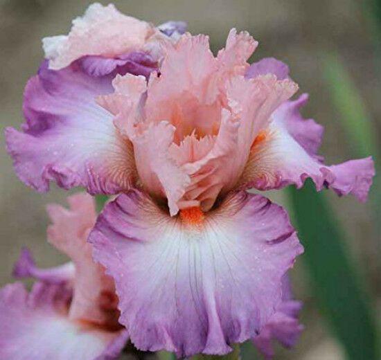 Iris 2 Bulbs Bonsai Perennial Resistant Flowers Bearded Garden Stunning Plants