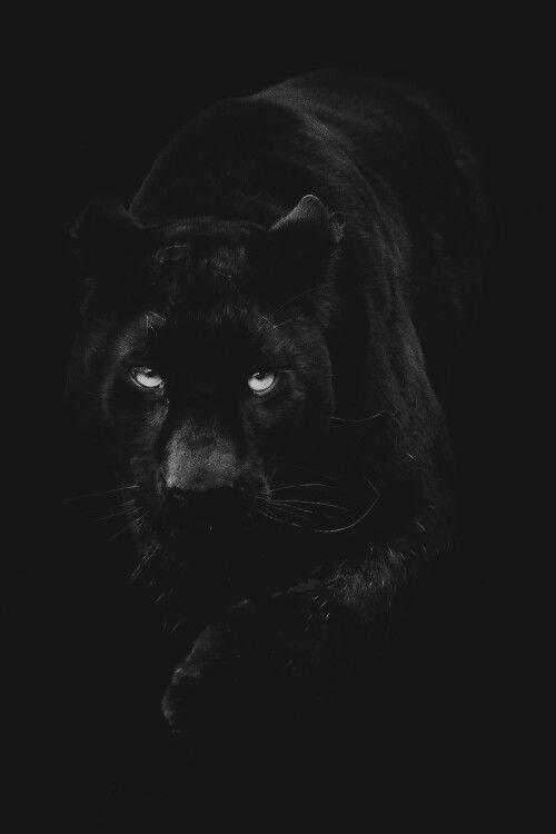 Panther eyes...