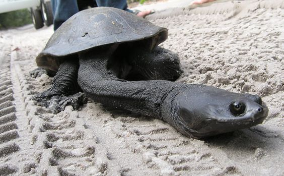 tortue a long cou