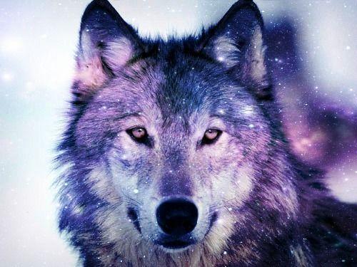 galaxy wolf S t a r d u s t Galaxy wolf Wolf spirit animal Wolf wallpaper