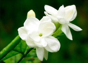 Chinese folk song Jasmine Flower( 茉莉花 Mo li hua )