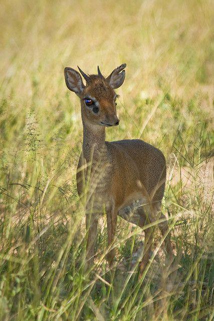 Sweet Baby Kirk's Dik-dik Antelope - Tanzania, Africa