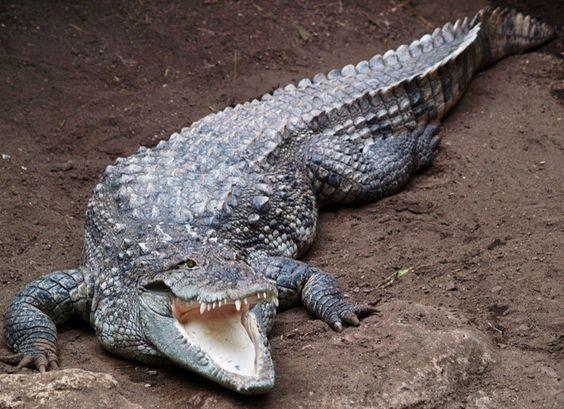 Mugger Crocodile of India