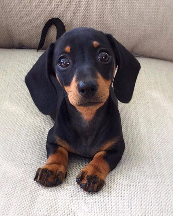 Cute Dachshund Puppy Sausage Dog Dachshund Puppy Doxie Weiner Dog
