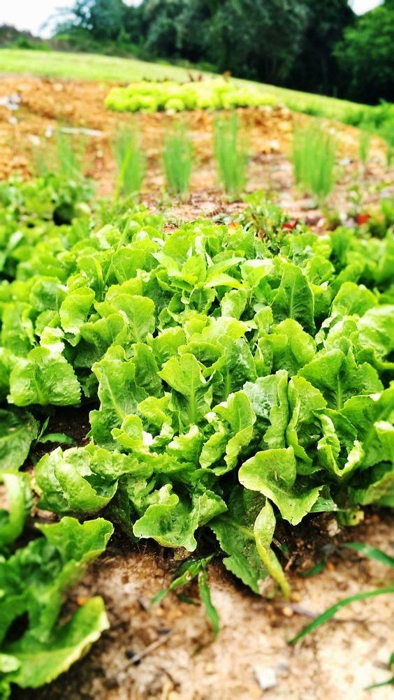 Chicórias orgânicas em nossas hortas!