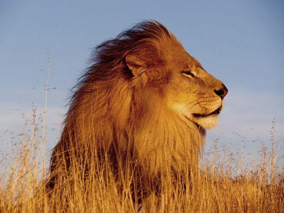 hd-wallpaper-lion-s-hd-wallpaper-lions-mane-jellyfish-leon-s-kennedy-lions-images-lions-landing-commission-lion-s-bank-lion-s-kenedy-lion-s-soundcloud-lionsgate-lions-club-lions-eye-diamond.jpg 1600×1200 pixels