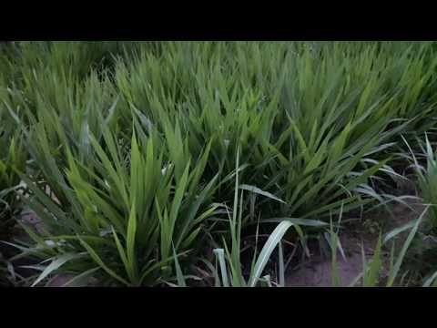 ความต างระหว งหญ าหวานก บหญ าเนเป ยร ปากช อง1ของแชมป เป ยนส ฟาร ม Youtube ฟาร ม