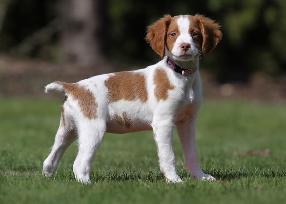 I'm cute and I don't shed much (no undercoat). I'm a quick learner and I like to exercise (just like my future mom - we could make a great pair).  Brittany Spaniel