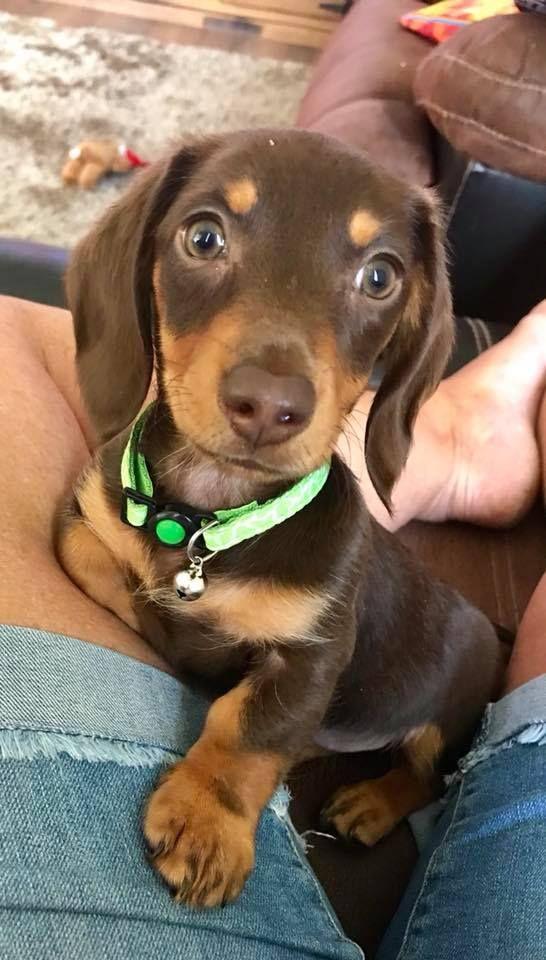 Hello I M Suzi I M In Australia Nsw Baby Dachshund Cute