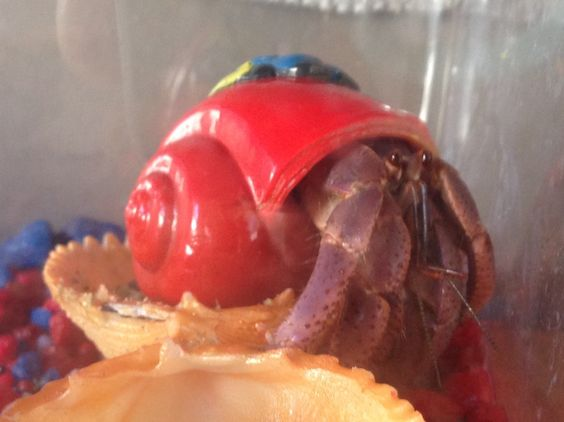 Here's Rocky, our first ever hermit crab!