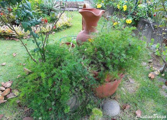 Herbácea rizomatosa, pertence à família Asparagaceae, nativa da África do Sul, perene, forma densas colônias de folhagem decorativa, com numerosas hastes...