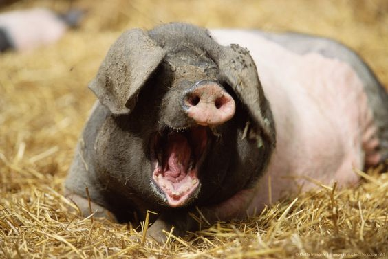 Image detail for -Pig in hay with mouth open
