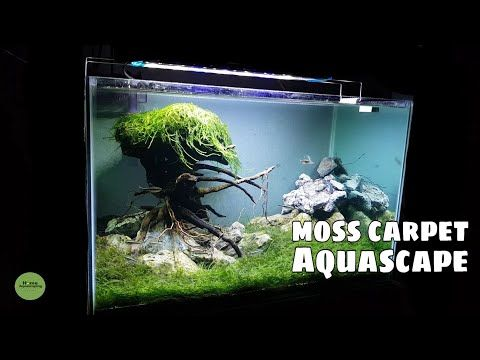 Java Moss Carpet Aquascape 水族频道 Youtube Aquascape Moss Java