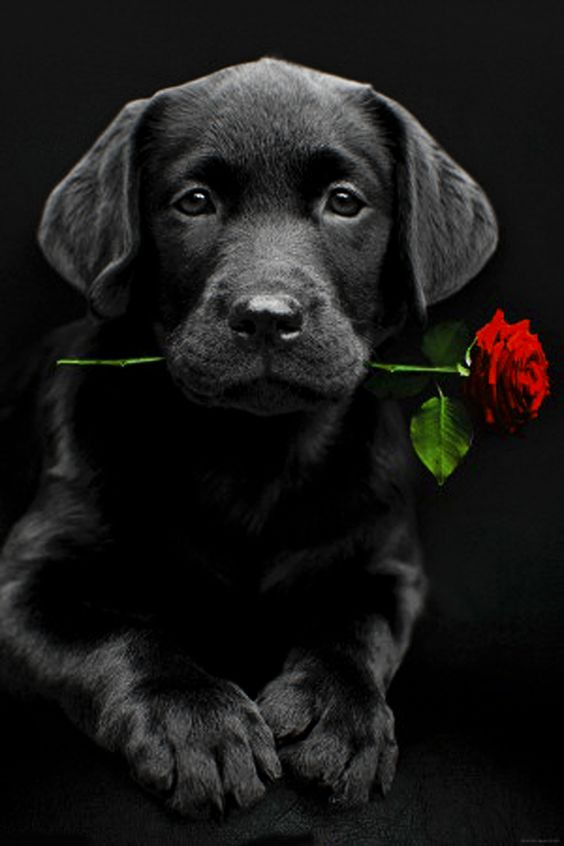 Does this look like a pedigree labrador puppy (picture)?