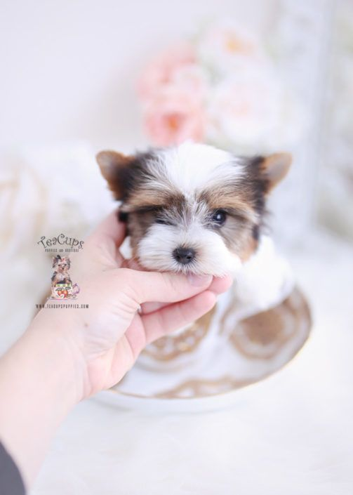 Parti Yorkie Puppy For Sale Teacup Puppies 232 Cuteteacuppuppies