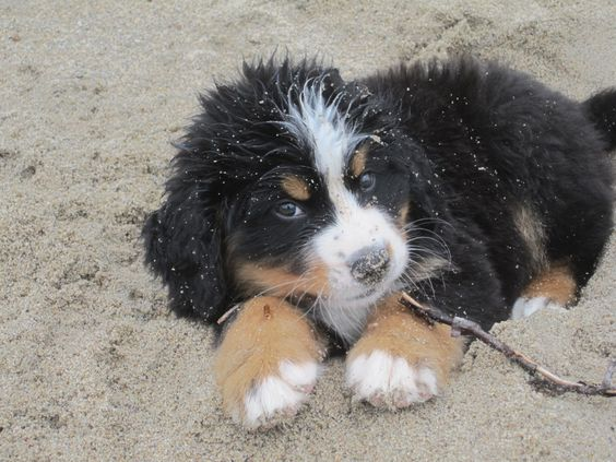 Bernese Puppy first day on the Beach!