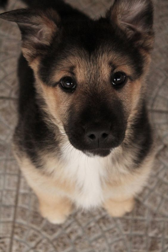 Look at those German Shepherd eyes...: