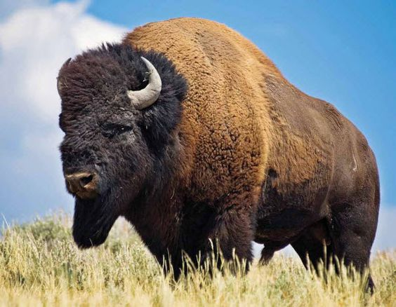 near extinction of north american bison The american bison is the official  the american bison is the largest mammal in north  they reduced the animal's habitat and hunted them to near extinction.