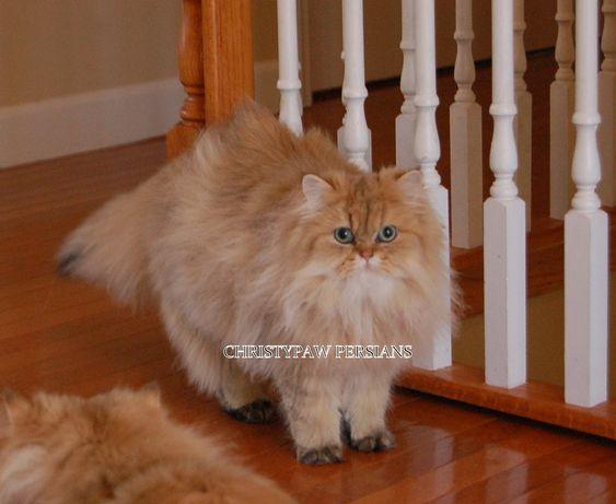 Reputable Missouri Persian Cat Breeder Christypaw Persians Persian Kittens Persian Kittens For Sale Persian Cat Breeders