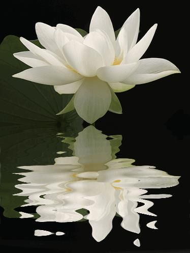 Water Lilly unfurling, beautiful, via Flower Story