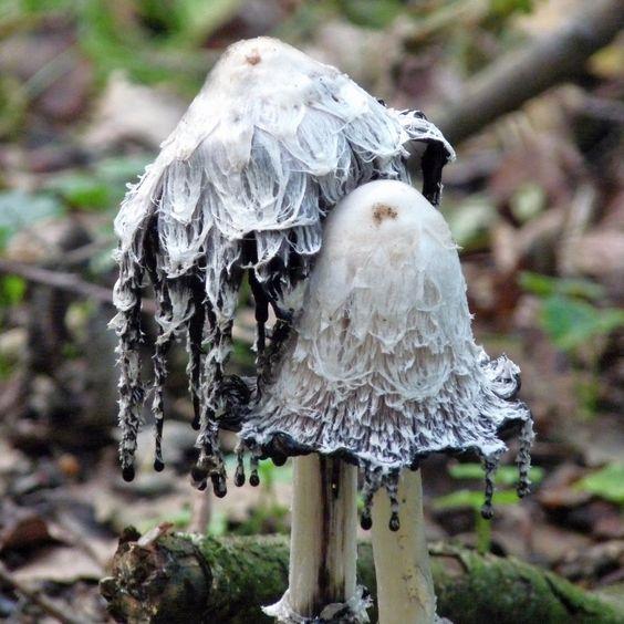 It is a faery kingdom after all.: Shaggy Mane, Mushrooms Fungi, Fungi Mushrooms, Amazing Mushrooms, Mushrooms Fungus