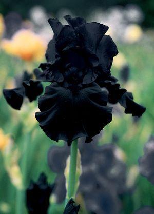 Iris germanica (Tall Bearded Iris) Hello Darkness