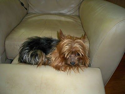 I sure do miss my Yorkie. RIP Baby