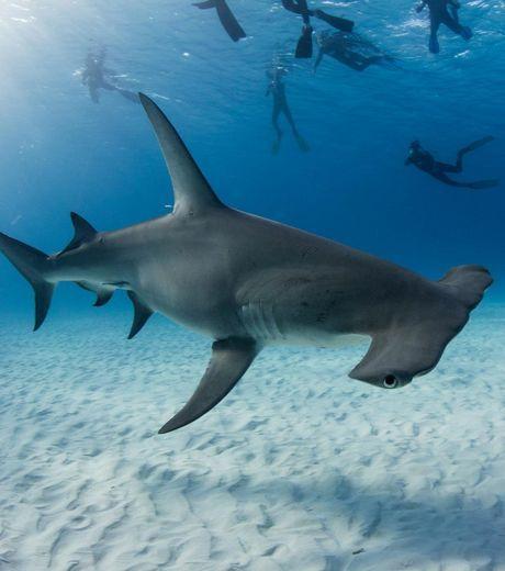 Requin-marteau : une équipe de biologistes s'attèle à poser des marqueurs sur certains spécimens afin de les suivre par satellite