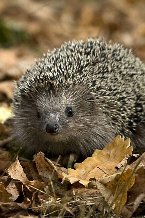 hedgehogs autumn and autumn iphone wallpaper on pinterest