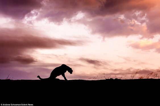 Early riser: This silhouette shows a Cheetah waking up as the clouds start to disperse to reveal rays of sunshine on a cool morning