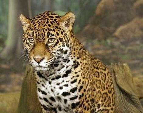 Panther  (Panthera onca)
