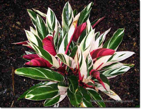 Stromanthe houseplants have colorful leaves more beautiful than flowers - Indoor colorful plants ...