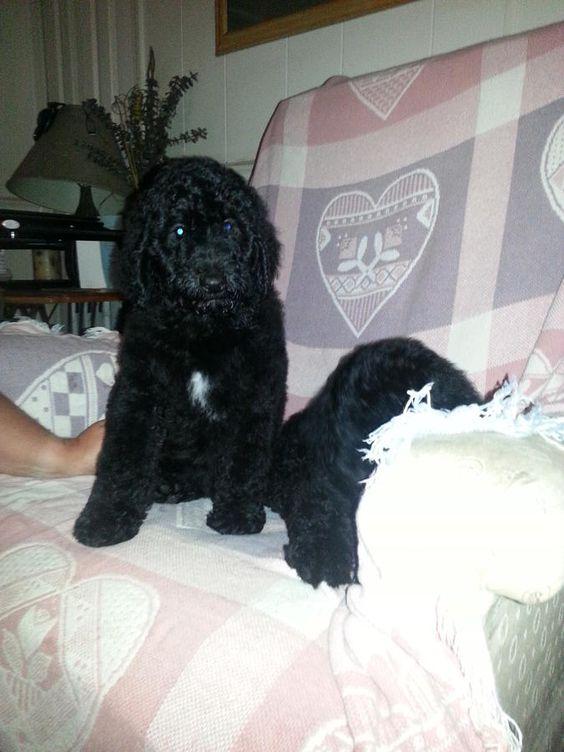 11 Week Old Standard Poodle Puppy In Jacksonville Florida