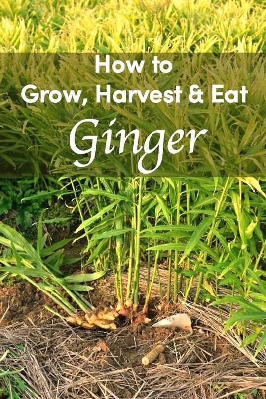 Make Your Garden Special Hydroponic Growing Growing Ginger