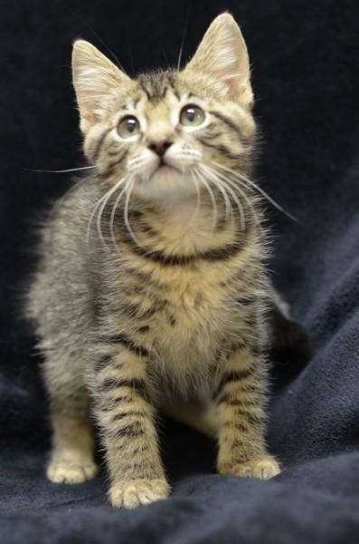 Meet Chipmunk150478, a Petfinder adoptable Domestic Short Hair Cat | Atlanta, GA | adopt one kitten for $125, adopt a second for $0 Adopt one cat for $85, adopt a second for $0 adopt...