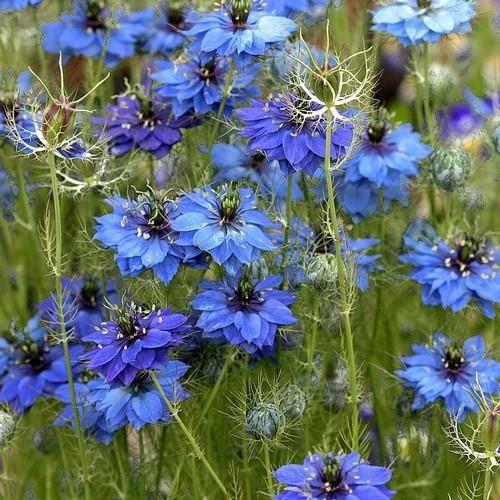 Love In A Mist Indigo Flower Seeds Nigella Damascena 50 Seeds Flower Seeds Indigo Flower Flower Farm