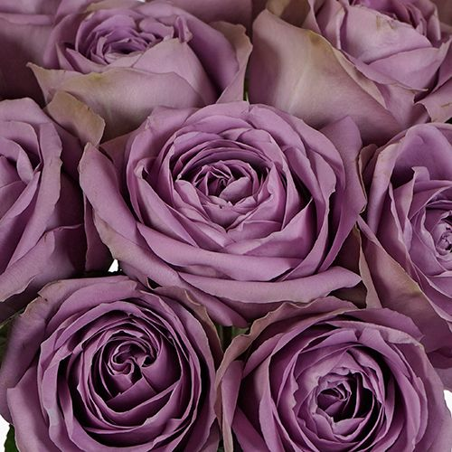 Rose Color Meanings 12 Shades And What They Symbolize Rose Color Meanings Rose Lilac Roses