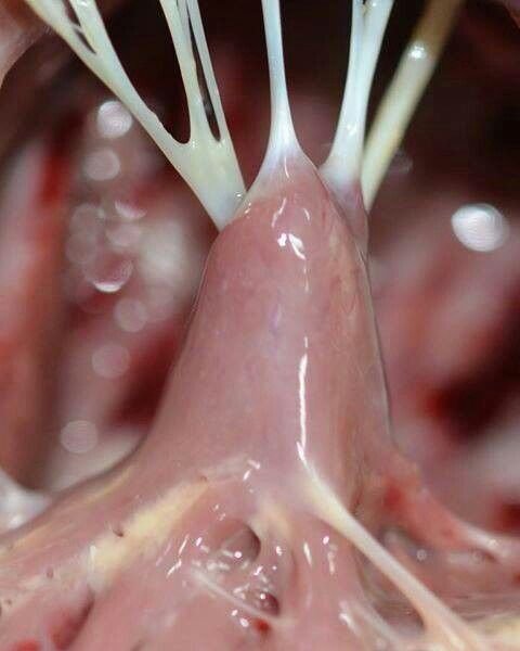"""chordae tendineae (the """"heart strings"""") attached to the papillary, Human Body"""