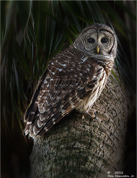 Barred Owl Series by Don Hamilton Jr