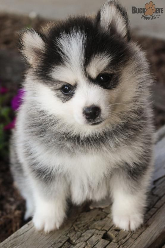 Fluffy Pomsky Puppies Siberianhusky Pomeranian Pomsky Hybrid Charming Puppiesofpinterest Pinterestpuppies Buckeyepuppies Pomsky Puppies Puppies Pomsky