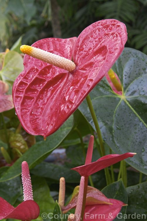 Anthurium Vesuvio One Of The Many Cultivated Forms Usually Hybrids Or Cultivars Of The Flamingo Flower Anthurium Andraeanu Anthurium Flamingo Flower Photo