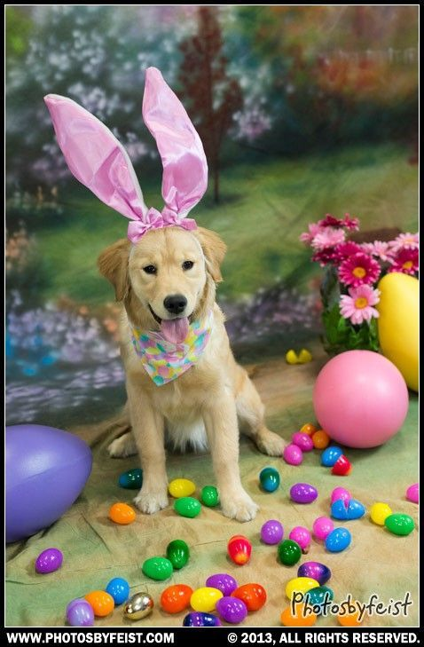 A Golden Retriever Puppy Wears Pink Bunny Ears And Sits Among