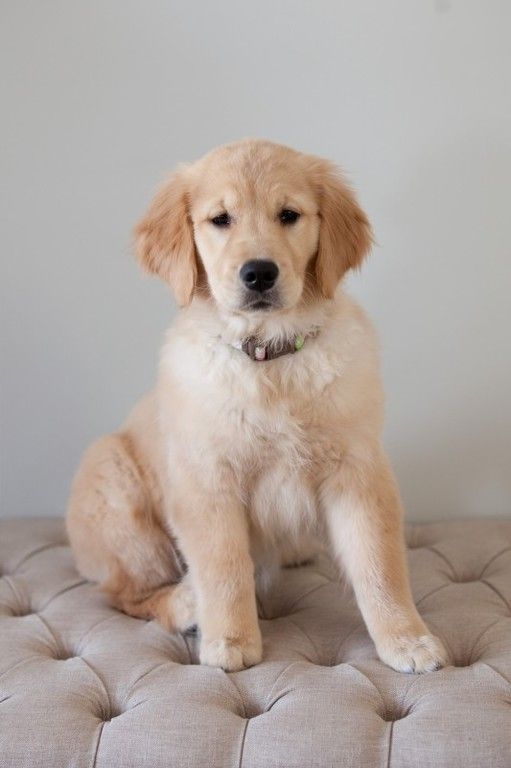 Cheap Golden Retriever Puppies For Sale In Illinois