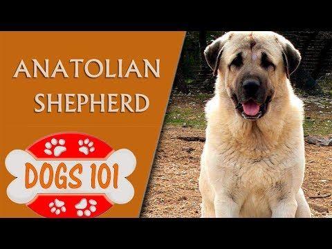 Dogs 101 Anatolian Shepherd Top Dog Facts About The Anatolian