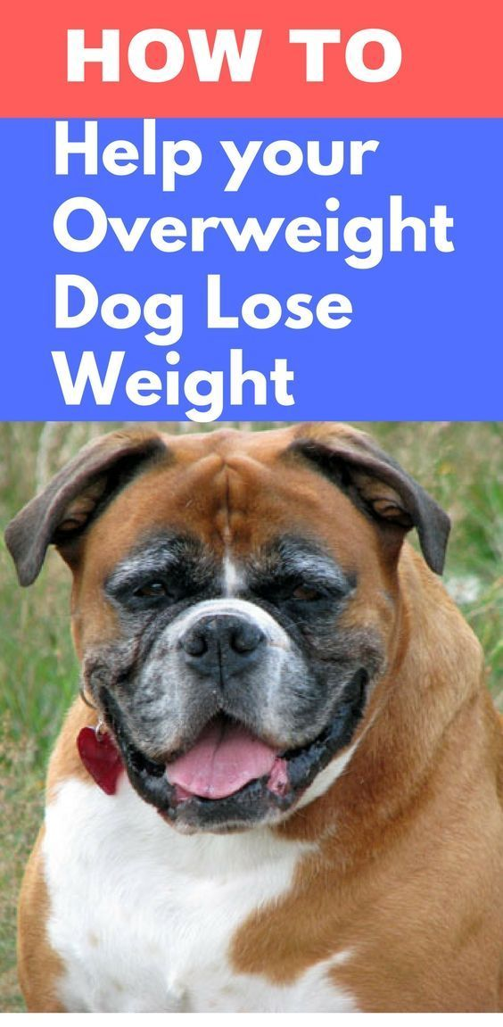 4390cad96930be9c7d41f006cd60b204 - How To Get My Overweight Dog To Lose Weight