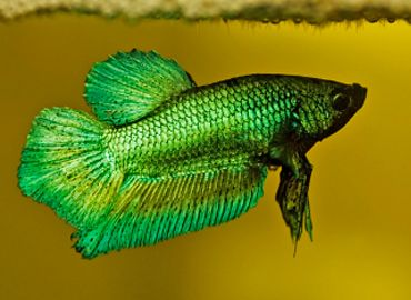 Freshwater fish pet fish and pets on pinterest for Walmart freshwater fish