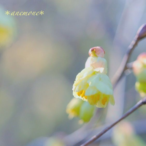 #ヒュウガミズキ#buttercup winter hazel