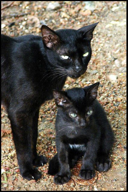 "* * MOM CAT: "" Weez be mini-panthers. Lottsa humans love us. Some don'ts. Weez musts live wif dat."""