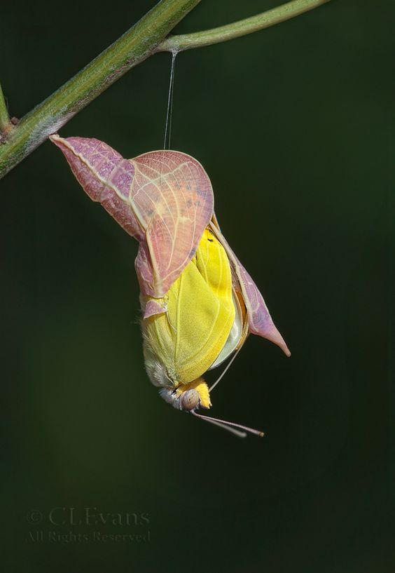 Emergence, Orange-barred Sulphur butterfly emerging from its chrysalis.