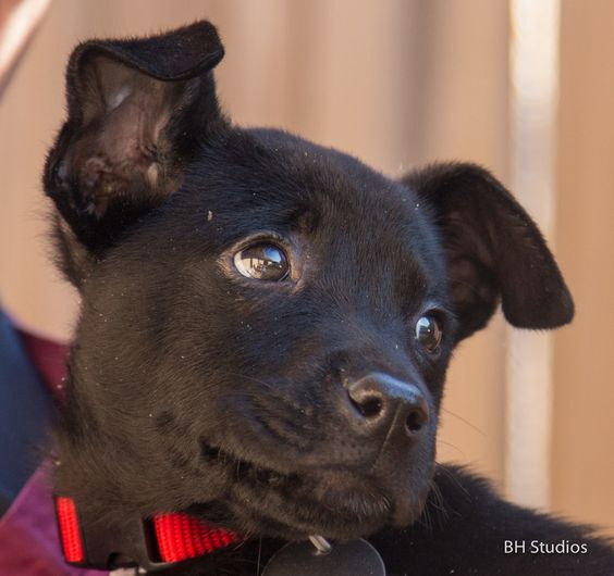 Plymouth 				Labrador Retriever & Schipperke Mix • Baby • Male • Medium 				Red Collar Rescue Houston, TX